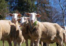 Schafe funken mit 0G